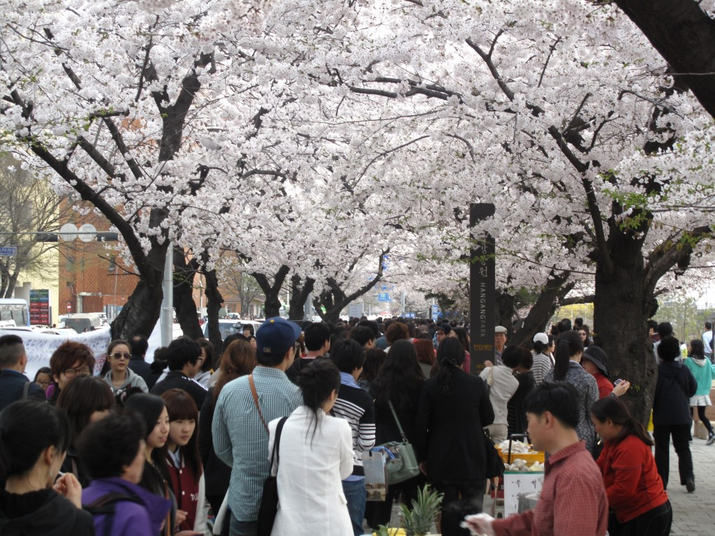 Japanese occupiers planted the cherry blossoms, but Koreans have made it their own festival