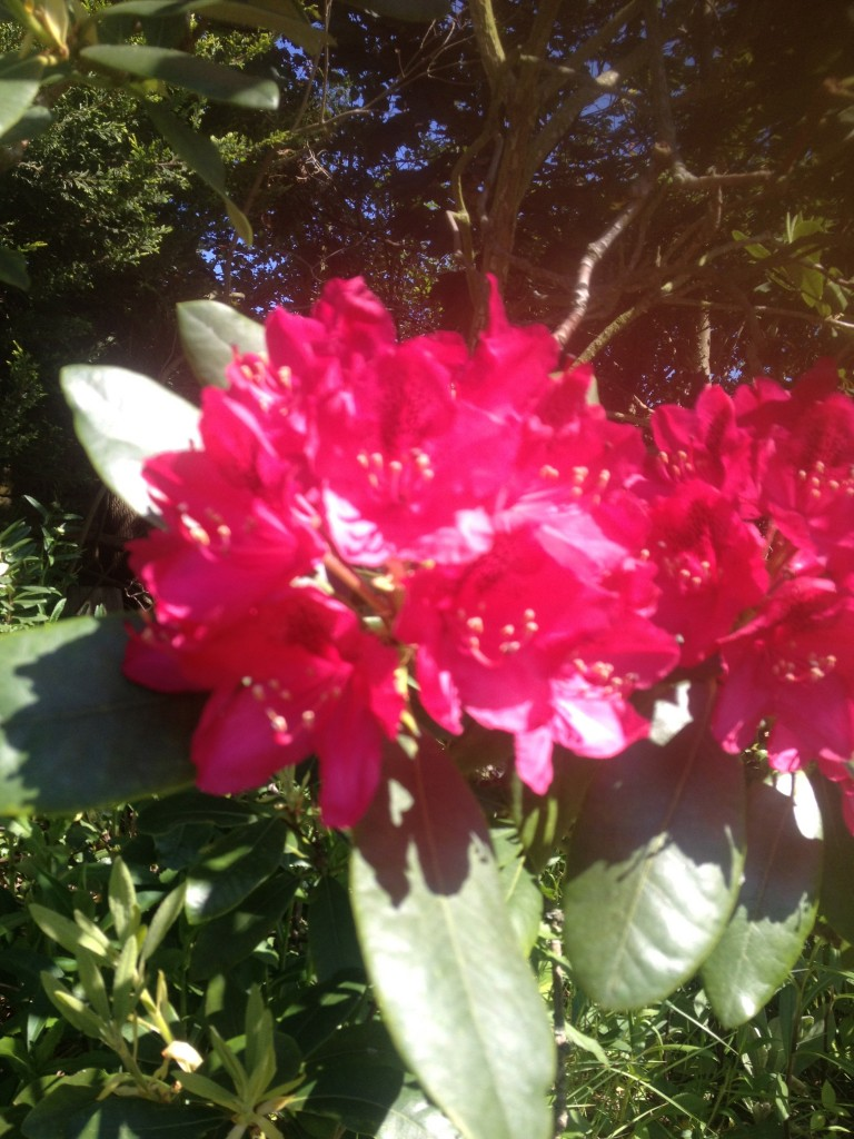 Rhododendrons in my garden.
