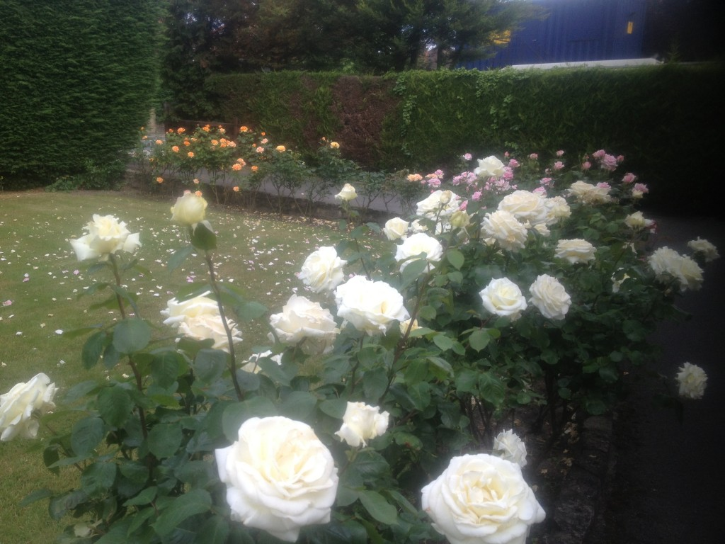 Ice Cream and Savoy tea roses in my garden